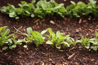 garden lettuce little